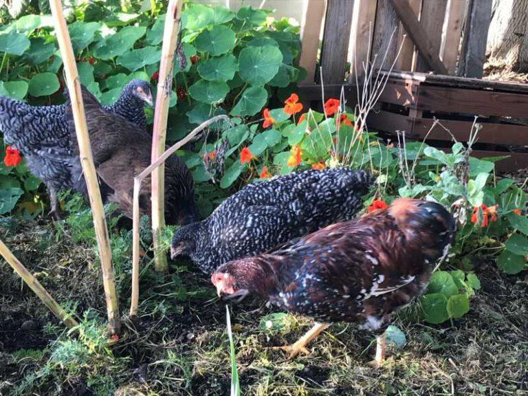 und fleißigen Hühnern