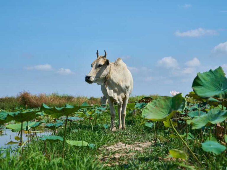 800 - Kambodscha - lotus-2314083_1920