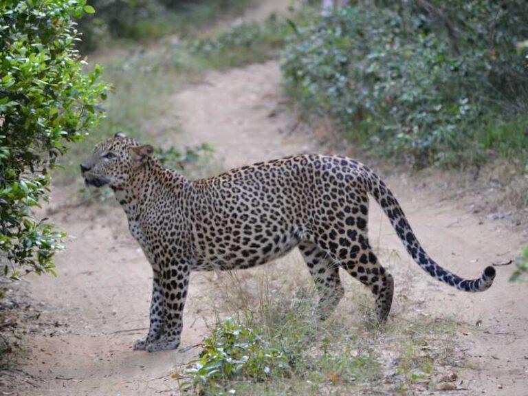 800 - Sri Lanka - leopard-4752127_1920