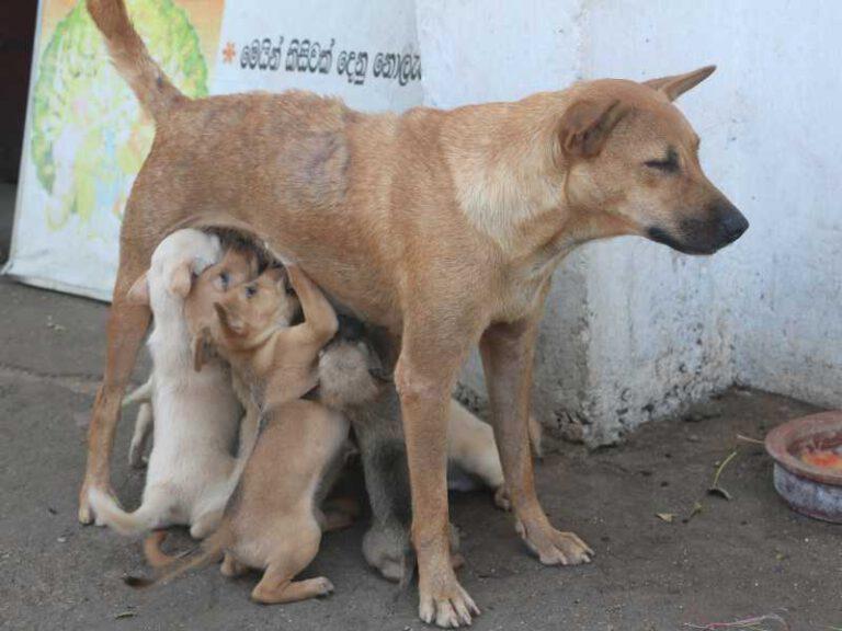 800 - Sri Lanka - puppies-2742209_1920