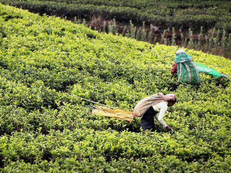 800 - Sri Lanka - tea-harvest-2132767_1920