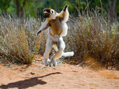 800 - Madagaskar - dancing-sifaka-from-madagascar-is-jumping