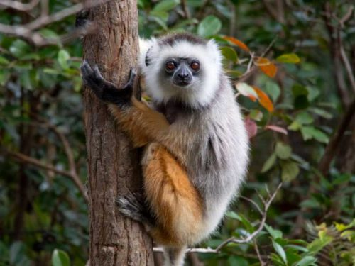 800 - Madagaskar - diademed-sifaka-hugs-the-palm-tree-sifaka-is-a-genus-of-primates-from-the-indriaceae-family-distributed-only-on-the-island-of-madagascar