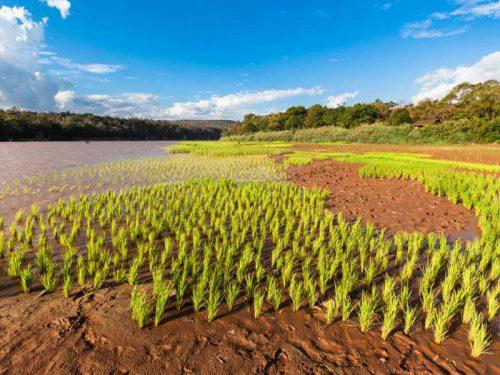 800 - Madagaskar - flooded-green-rice-field-landscape