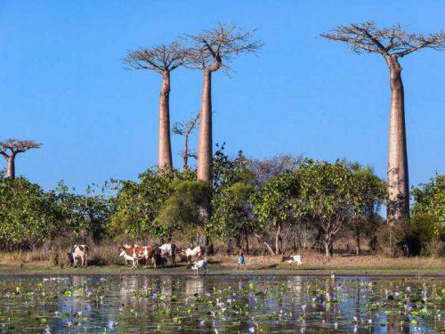 800 - Madagaskar - herd-of-cows-near-baobab-alley-water-lilies-in-pond