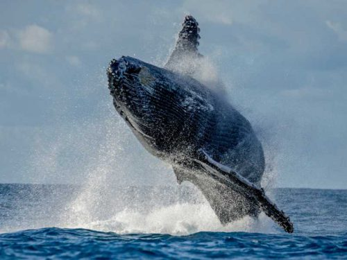 800 - Madagaskar - humpback-whale-jumps-out-of-the-water-beautiful-jump-madagascar-st-mary-s-island