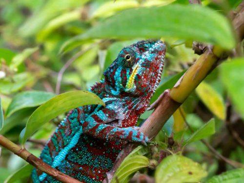 800 - Madagaskar - one-chameleon-moves-along-a-branch-in-a-rainforest-in-madagascar(1)
