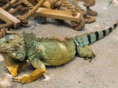 800- Mauritius - an-iguana-on-a-reservation-on-the-island-of-mauritius-a-large-lizard-iguana-in-a-park-on-the-island-of-mauritius