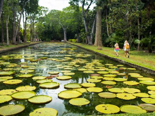800 - Mauritius - botanical-garden-on-the-paradise-island-of-mauritius-beautiful-pond-with-lilies-an-island-in-the-indian-ocean